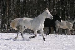 Grijs paard bij wintertijd Stock Afbeelding