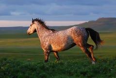Grijs paard dat op heuvel op zonsondergang loopt Royalty-vrije Stock Foto