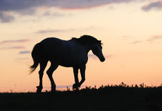 Grijs paard dat op heuvel op zonsondergang loopt Stock Afbeeldingen