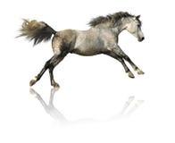 Grijs paard dat op wit wordt geïsoleerda Royalty-vrije Stock Afbeeldingen