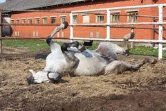 Grijs paard dat ter plaatse rolt stock foto