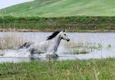 Grijs paard dat in water loopt Royalty-vrije Stock Afbeelding