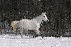 Grijs paard die bij wintertijd lopen Royalty-vrije Stock Afbeelding