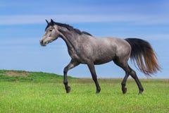 Grijs paard in motie royalty-vrije stock foto