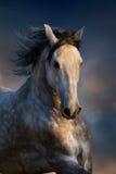 Grijs paard in motie Stock Fotografie