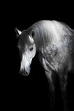 Grijs paard op de zwarte achtergrond Royalty-vrije Stock Afbeeldingen