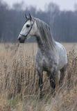 Grijs paard op gebied Royalty-vrije Stock Afbeelding