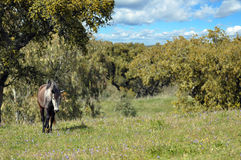 Grijs paard op gebied Stock Foto's