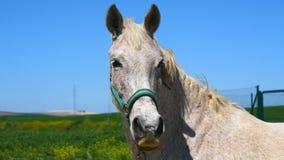 Grijs paard op gebied (4K) stock videobeelden