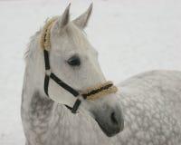 Grijs paard op sneeuw royalty-vrije stock afbeelding