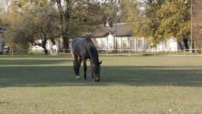 Grijs paard op weiland stock video