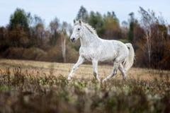 Grijs paard portait in de de herfst bosaard, het kijken Royalty-vrije Stock Afbeeldingen