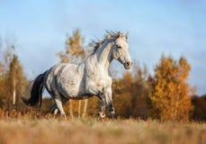 Grijs paard portait in de de herfst bosaard, het kijken Royalty-vrije Stock Afbeelding
