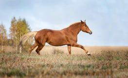Grijs paard portait in de de herfst bosaard, het kijken Royalty-vrije Stock Fotografie
