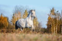 Grijs paard portait in de de herfst bosaard, het kijken Royalty-vrije Stock Foto's