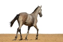 Grijs paardveulen die op zand op een witte achtergrond galopperen stock afbeelding