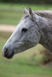 Grijs poneyportret Royalty-vrije Stock Fotografie