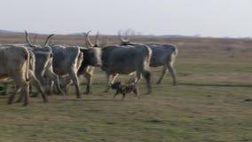 Grijs vee in het landbouwbedrijf stock video