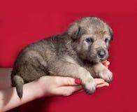 Grijs weinig puppyzitting op hand op rood Royalty-vrije Stock Fotografie