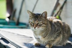 Grijs-witte gestreepte Middeneuropese Shorthair-kat op jachten voor een muis in Duitsland stock foto's