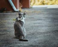 Grijs-witte kattenzitting op de bestrating Dakloze droevige weemoedige eenzame verdwaalde kat op de achtergrond van het asfalt He royalty-vrije stock afbeelding