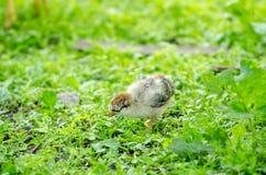 Grijs-witte leuk weinig jong babykuiken Royalty-vrije Stock Afbeeldingen