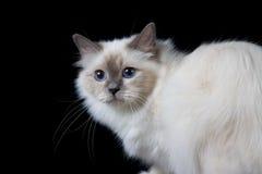 Grijs-witte longhair kat met blauwe ogen Stock Afbeelding