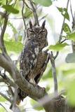 Grijsachtige Eagle-uil Bubo cinerascens royalty-vrije stock afbeelding