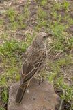 Grijsachtige microrhynchus van Vliegenvangerbradornis royalty-vrije stock foto