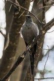 Grijsachtige microrhynchus van Vliegenvangerbradornis royalty-vrije stock fotografie