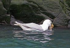 Grijsgroene zeemeeuw die een levend guiilemot kuiken slikt Royalty-vrije Stock Foto