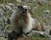 Grijswitte marmot Stock Foto