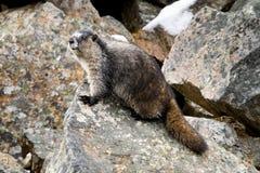Grijswitte Marmot Royalty-vrije Stock Foto's