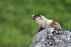 Grijswitte Marmot Royalty-vrije Stock Fotografie
