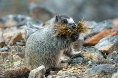 Grijswitte Marmot Stock Fotografie