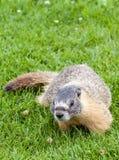 Grijswitte marmot Royalty-vrije Stock Afbeeldingen