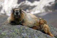 Grijswitte marmot Royalty-vrije Stock Afbeelding