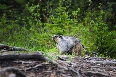 Grijswitte Marmot (caligata Marmota) Stock Afbeeldingen