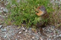 Grijswitte Marmot die een Snack hebben Stock Fotografie