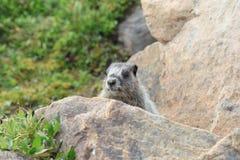 Grijswitte Marmot in Weide Stock Foto