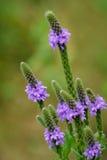 Grijswitte Vervain Wildflower Royalty-vrije Stock Afbeelding