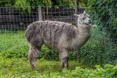 Grijze alpaca in een landbouwbedrijf Stock Foto