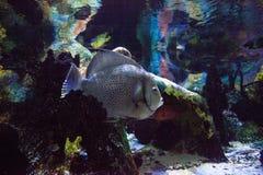 Grijze arcuatus van zeeëngelpomacanthus royalty-vrije stock fotografie