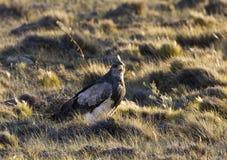 Grijze Arendbuizerd, Busardo-Eagle Preto-chested, Geranoaetus mim fotografia de stock royalty free