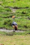 Grijze bekroonde kraan op masai mara Kenia stock afbeelding