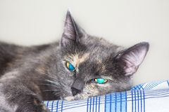 Grijze blauwe eyed kat die op bed liggen Stock Afbeeldingen