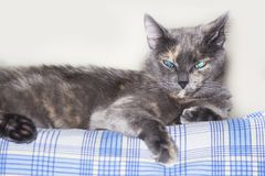 Grijze blauwe eyed kat die op laag liggen stock foto