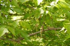 Grijze boomkikker op een cederboom royalty-vrije stock afbeelding