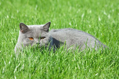 Grijze brittishkat in het gras Royalty-vrije Stock Foto
