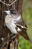 Grijze butcherbird op een boom Stock Fotografie